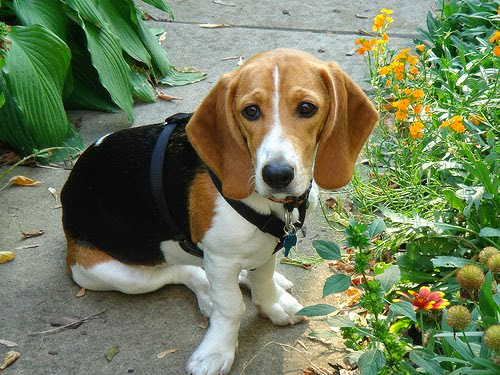 Etsy Beagles