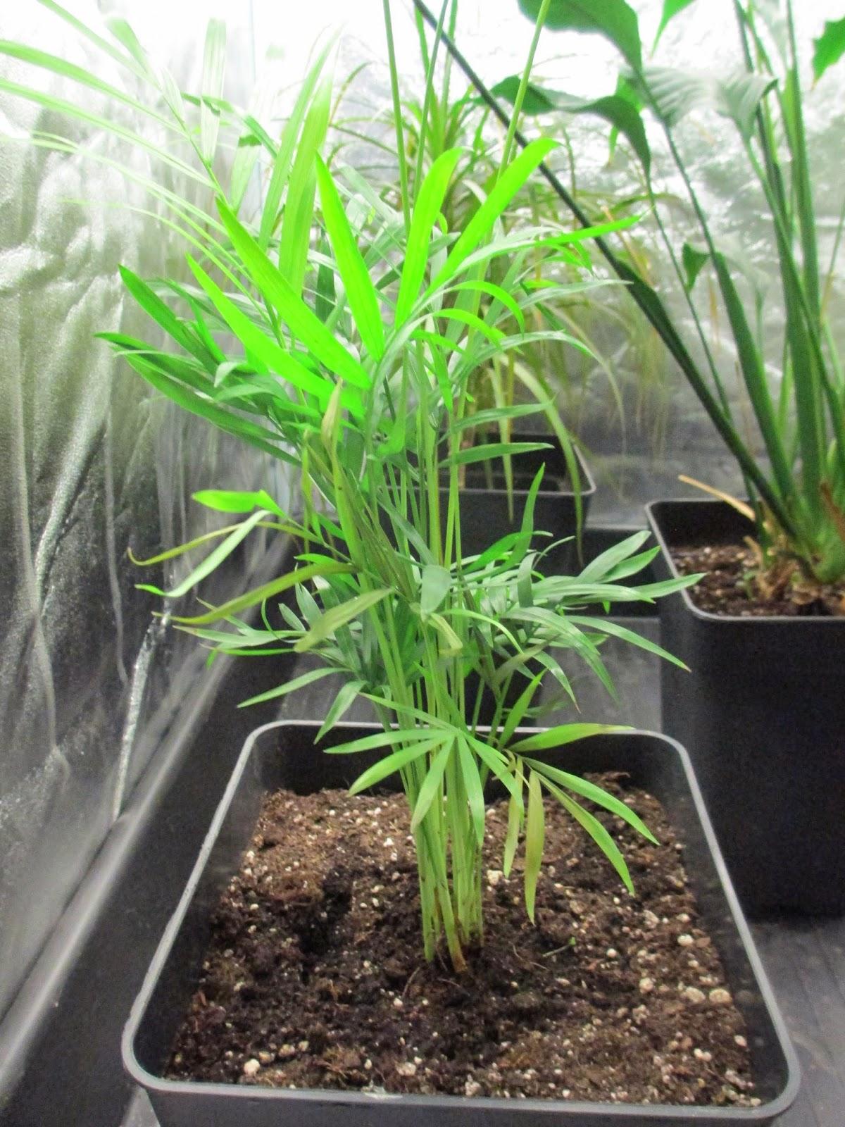 La mar de verde chamaedorea elegans o palmera de salon - Tipos de palmeras de interior ...