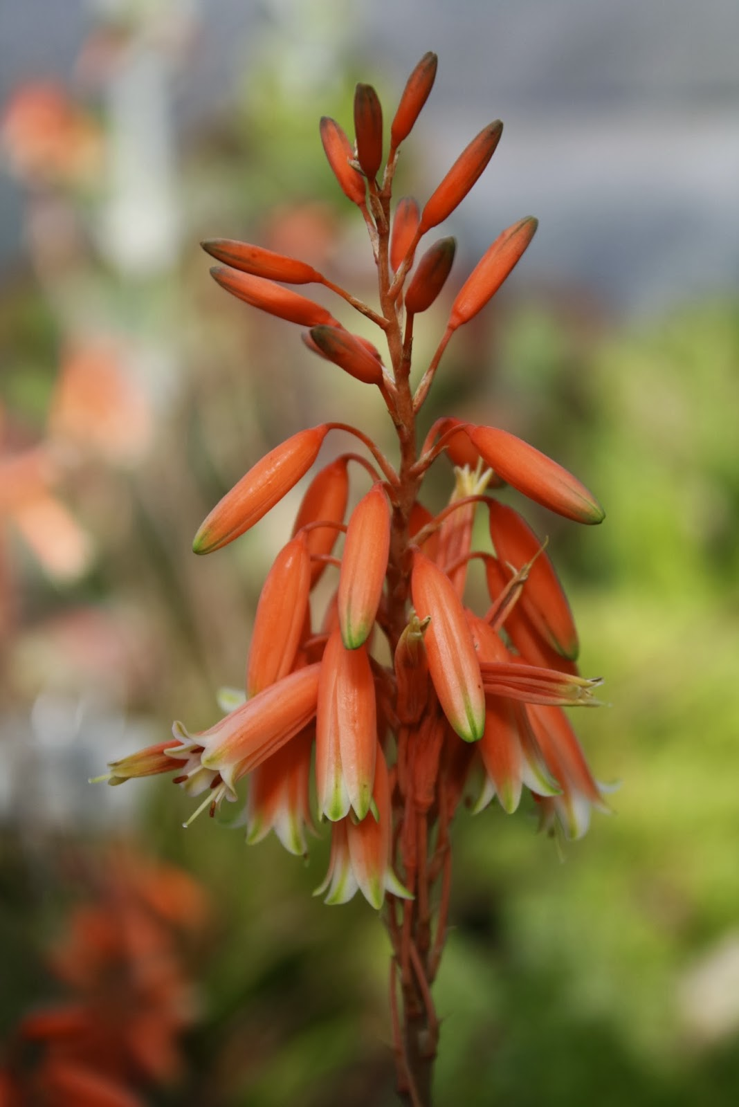 aloe bloom