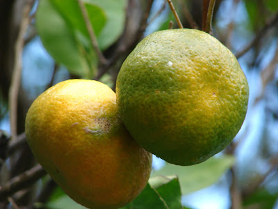 Chen Pi (Citrus Reticulata) Overview, Health Benefits, Side effects