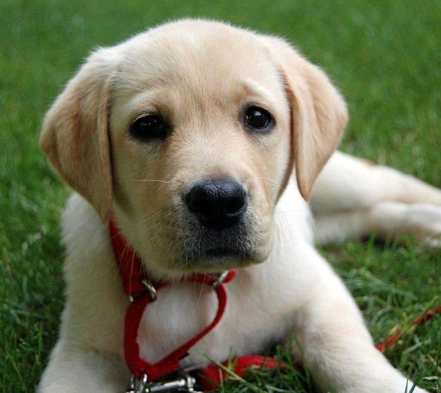 yellow labs, Labrador Retriever, dog, puppy  www.ducksnarow.com