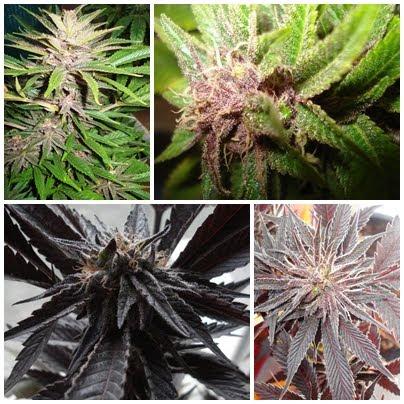 MOTAGENETIKS semillas de cannabis para coleccionistas