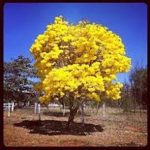 IPÊ-AMARELO - Flor símbolo do Brasil