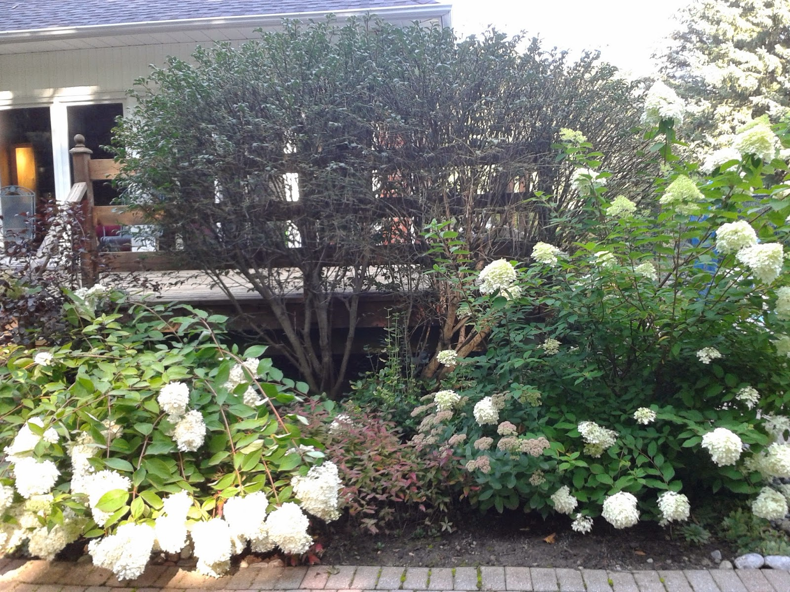 White apron menu oshawa - The H Paniculata Pee Gee On The Left In This Picture Was Planted In 1990 It Is Always Healthy With Many Blooms But It Always Flops
