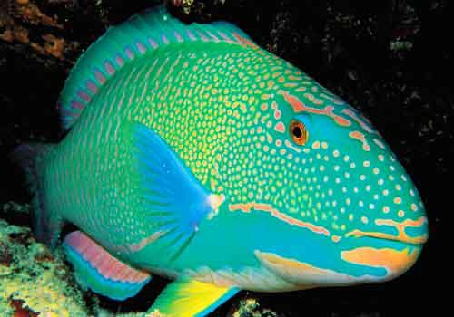 Redefining the face of beauty world 39 s most exotic for Rainbow parrot fish