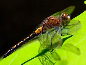 ¿Por qué desaparecieron los insectos gigantes?  Libelula-miedo