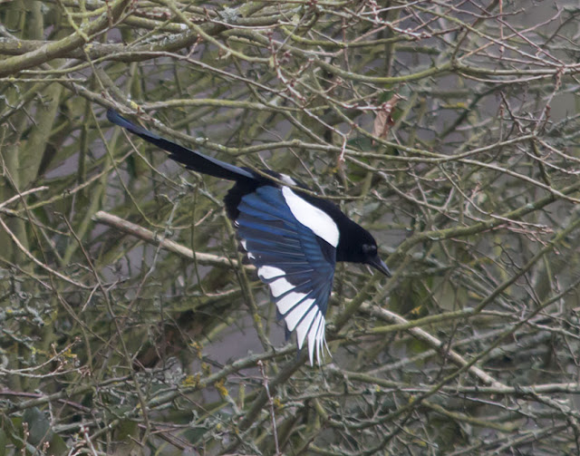 Magpie, Pica pica.  Jubilee Country Park, 23 February 2013.