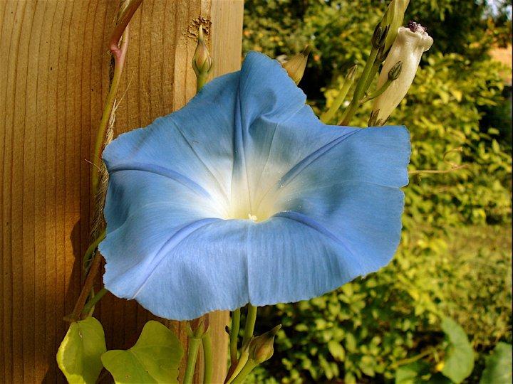La fleur du dimanche juillet 2011 - Comment eradiquer le liseron ...