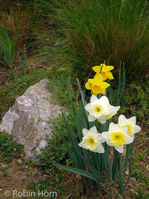 Native Grasses with Daffodils