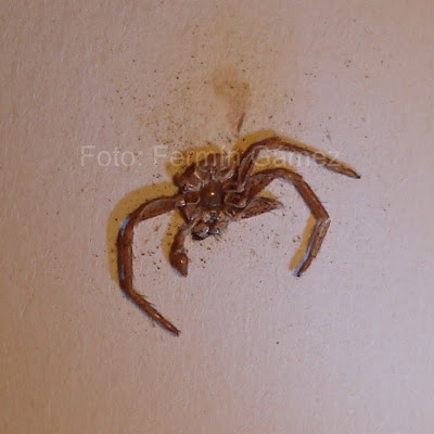 araña muerta aplastada contra la pared
