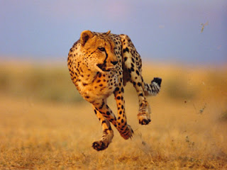 Cheetah fastest runner