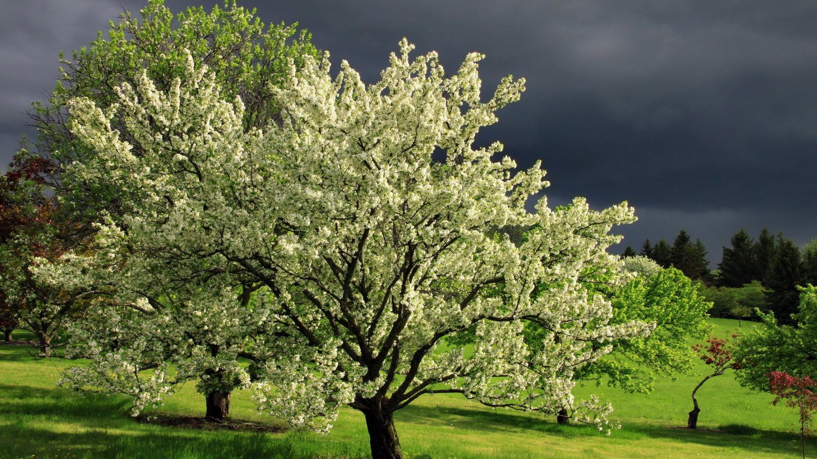 A Parade of Spring-Flowering Trees - FineGardening