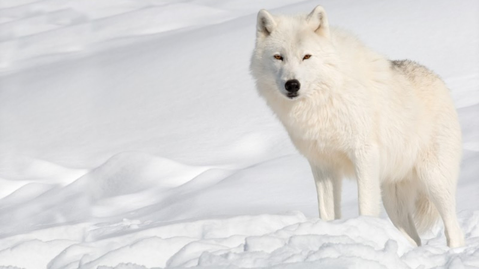 Arctic wolf in snow - photo#4