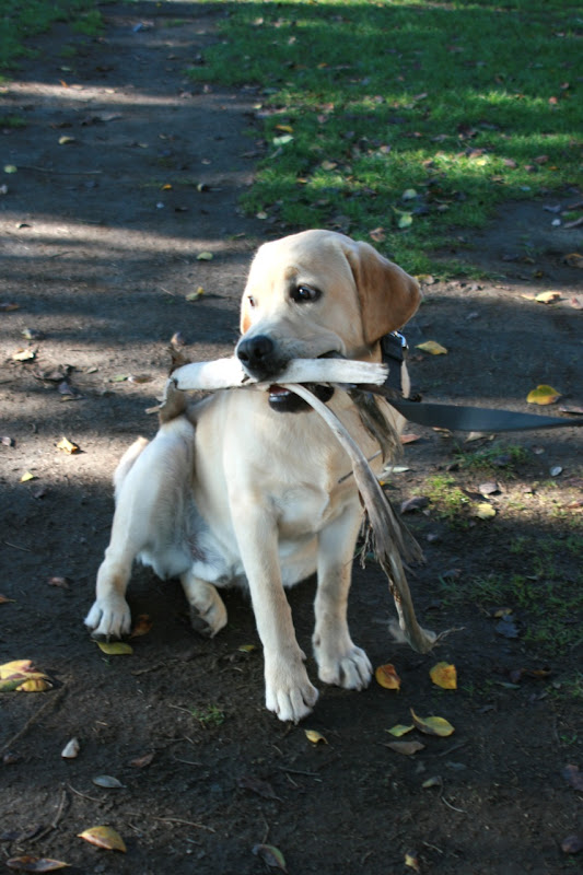 Labrador pup Santa Monica