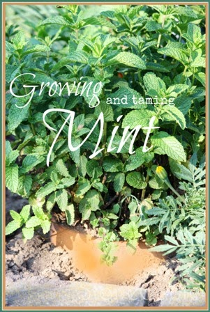 GROWING AND TAMING INVASIVE MINT