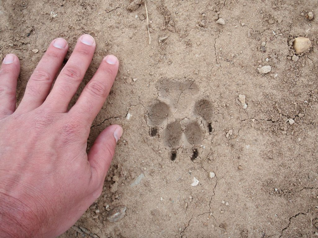 bobcat footprint