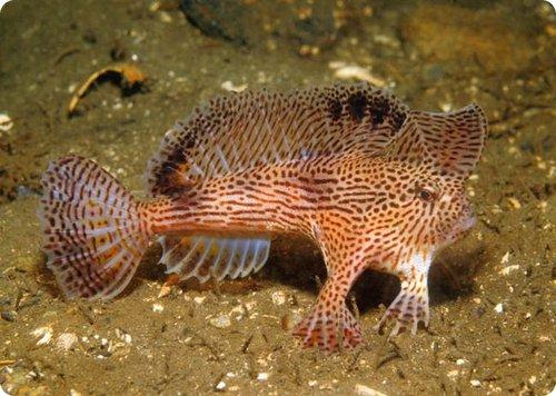 Blog do l o os peixes mais feios do mundo - Poisson moche ...