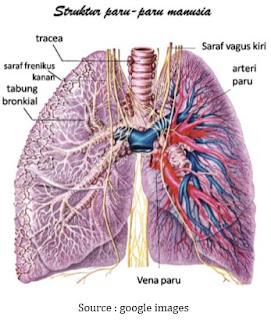 Struktur Organ, Cara Kerja, dan Fungsi Paru - Paru Manusia