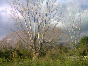 16 dicembre 2016 ▐ Albero spoglio