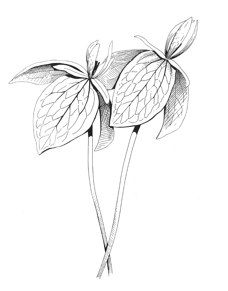 The Gallery For --u0026gt; White Lily Sketch