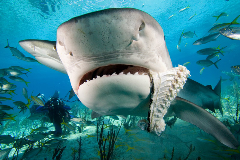 Funny pictures gallery shark fish shark tale jelly fish for Take me fishing org
