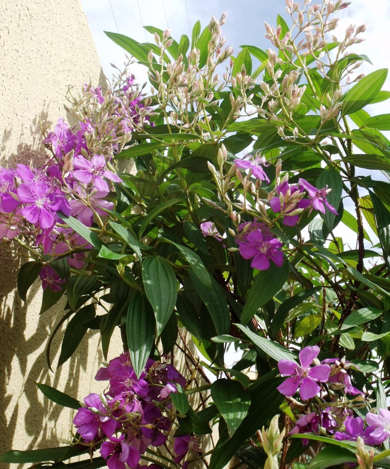 programa verdejando quaresmeira a planta que anuncia a