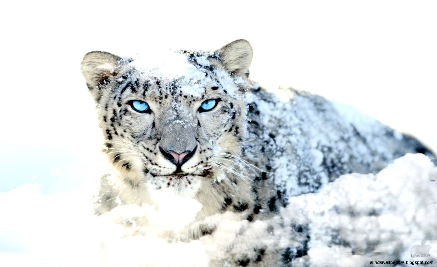 Snow Leopard Wallpaper   CnMuqi