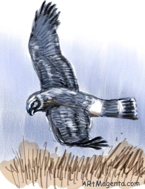 Hen Harrier is a bird drawing by artist and illustrator Artmagenta