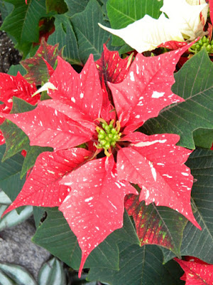 Allan Gardens Conservatory Christmas Flower Show 2015 red speckled poinsettia by garden muses-not another Toronto gardening blog