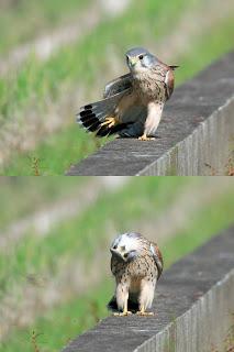 silly bird hawk, hawk acting funny, funny birds, funny hawk, silly hawk, silly bird