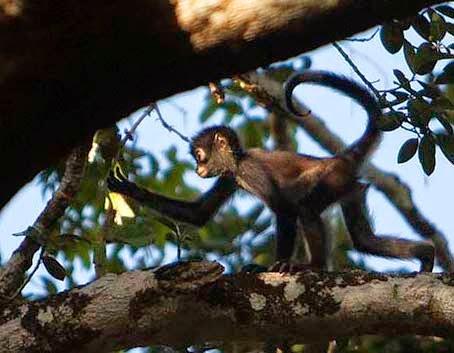 Un jóven mono araña. debido a que se están arrancando muchos árboles en las cercanías de la reserva estos animales están en peligro de extinción. Al reducirse los espacios las peleas entre las familias están siendo mucho más frecuentes y mucho más violentas