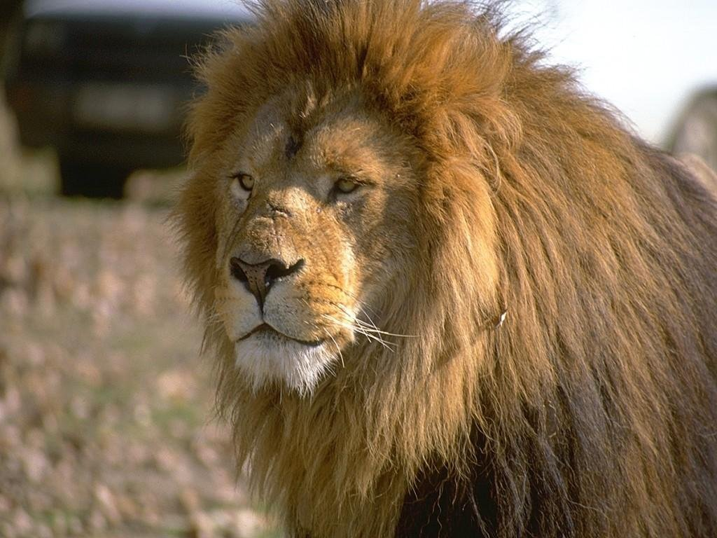 http://3.bp.blogspot.com/-l7RLed8vISU/TsuWCcoMFSI/AAAAAAAAA-Q/IyfSXybzb0A/s1600/Lion%2Bwallpapers%2Bhd%2B2.jpg