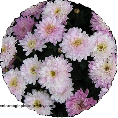Pink mums