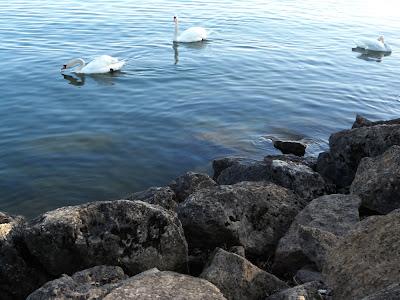 Lago, Cisnes, Neuchâtel