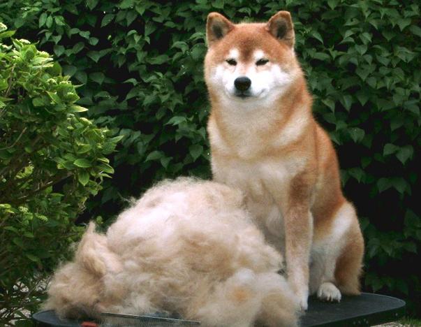 Shiba Inu Grooming