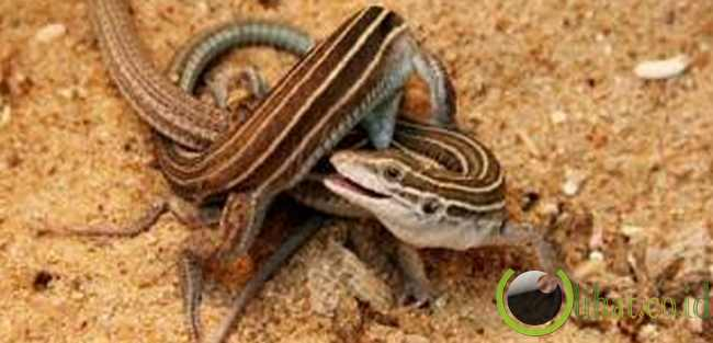 Whiptail Lizard (Kadal Ekor Cambuk)