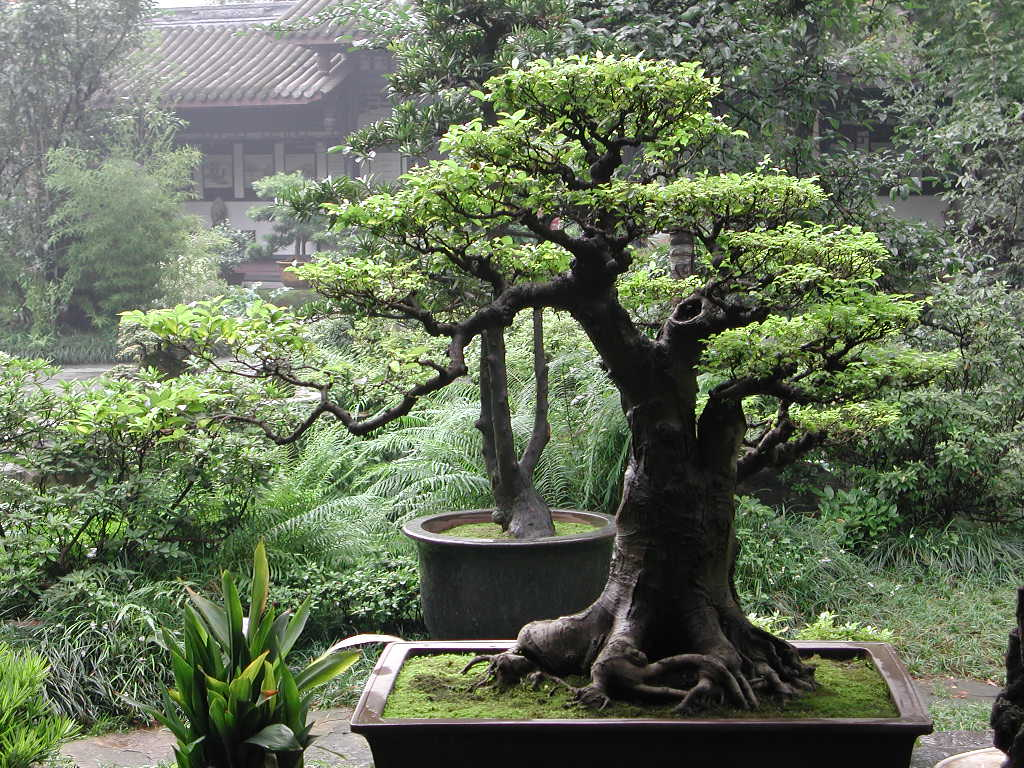 Bonsai trees for Japanese outdoor plants