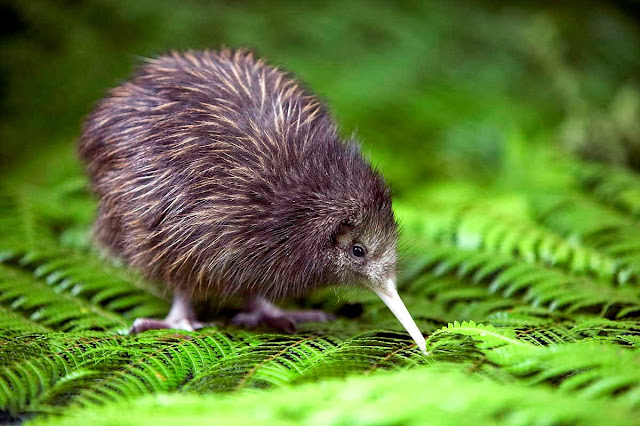 Funny animals of the week - 3 January 2014 (40 pics), baby kiwi