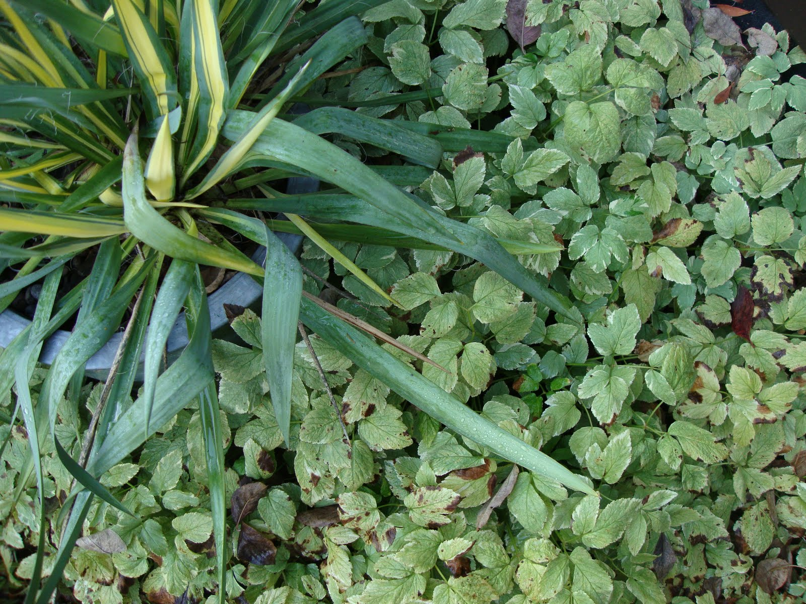aegopodium podagraria how to get rid of