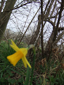 Mini Daffodil  10