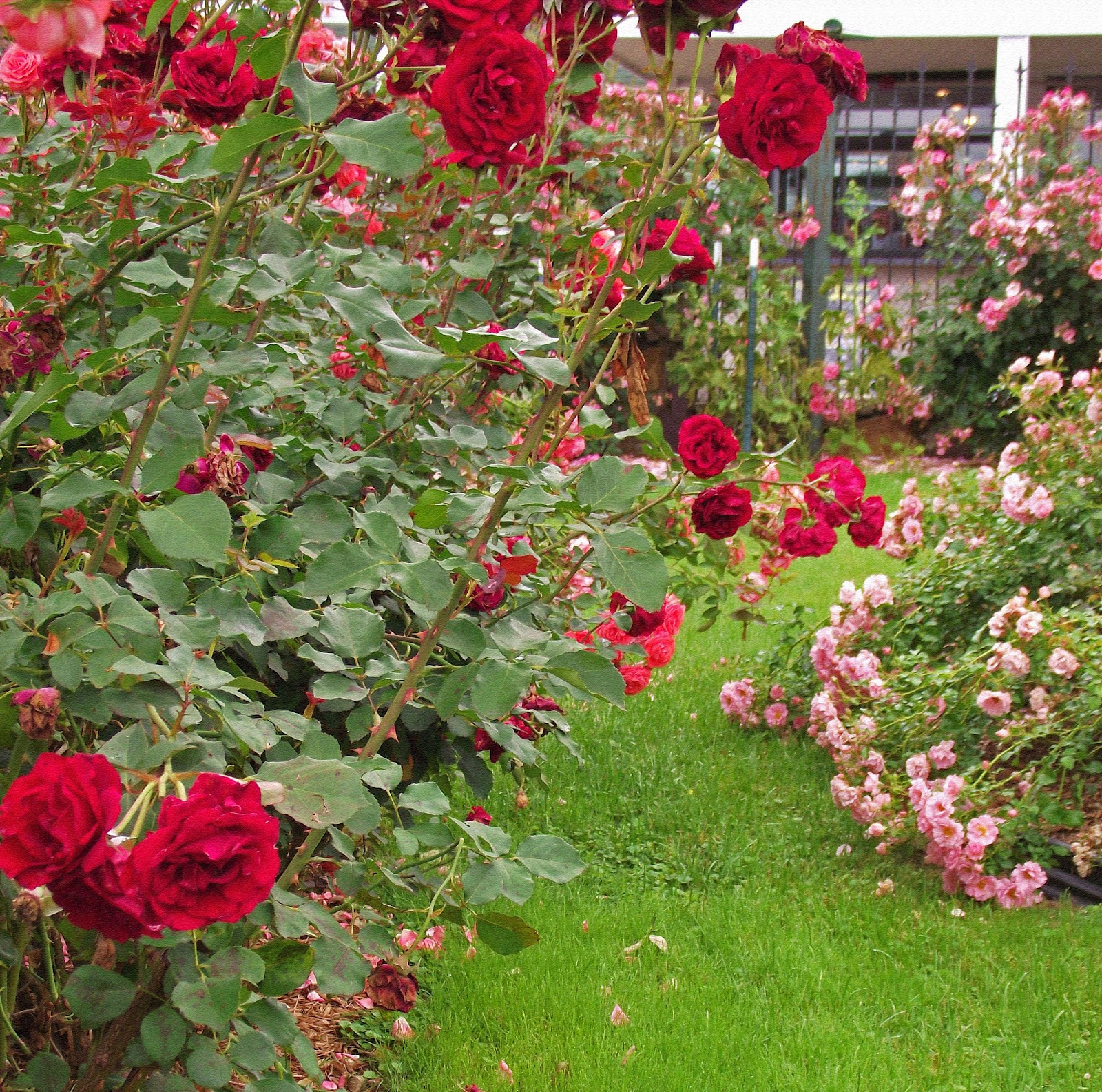 A Whitewashed Cottage A Rose Garden