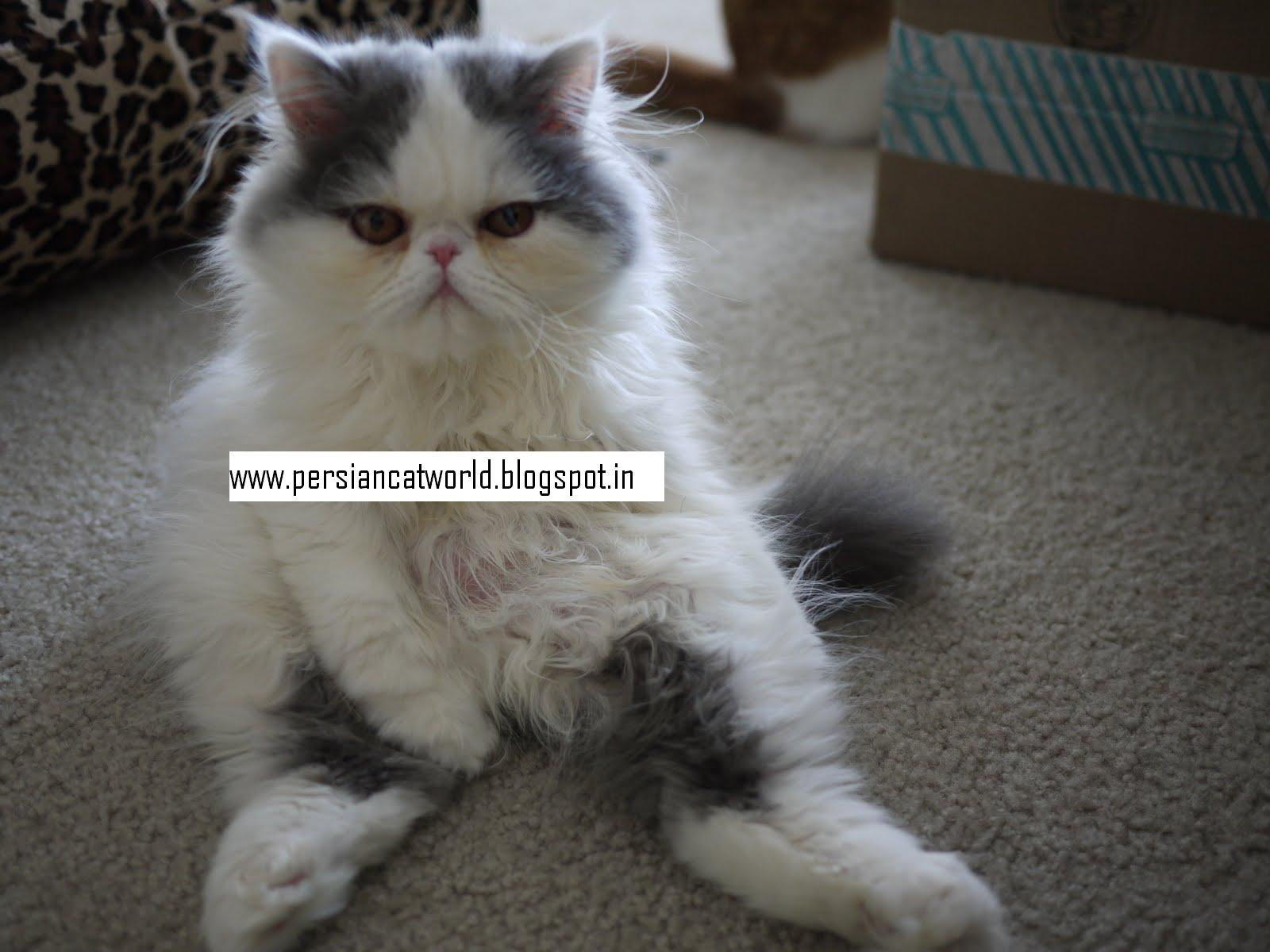 Persian Cat World