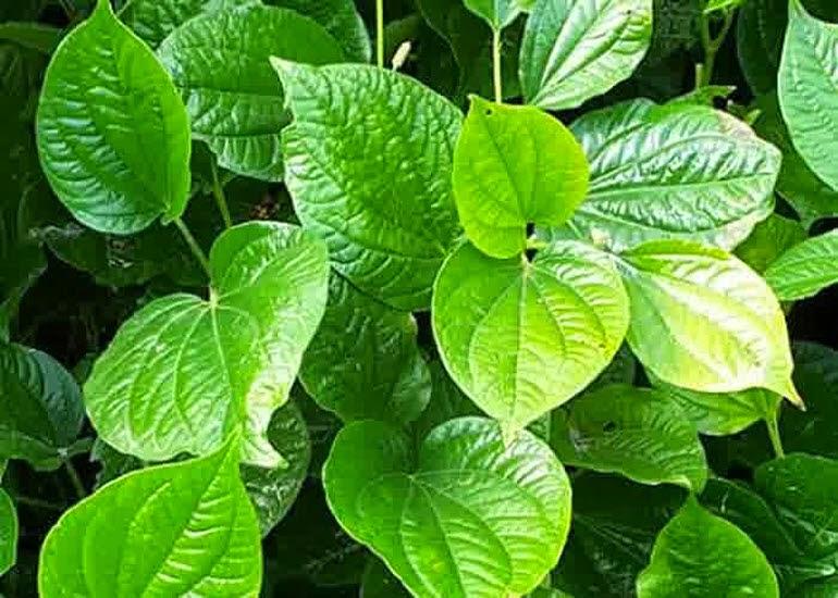 gambar daun sirih yang masih segar untuk kesehatan gigi dan gusi