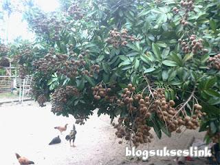 buah kelengkeng1