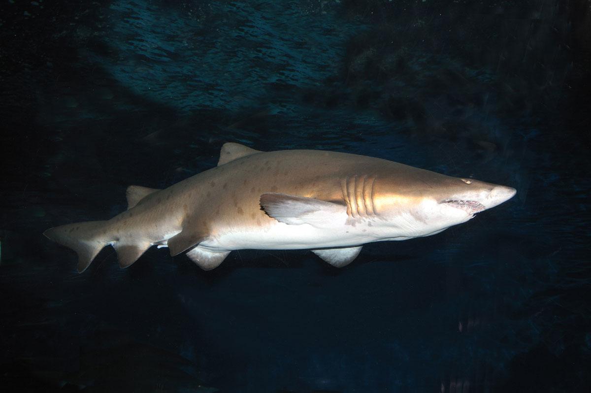 Excepcional Anatomía Interna De Tiburón Regalo - Imágenes de ...