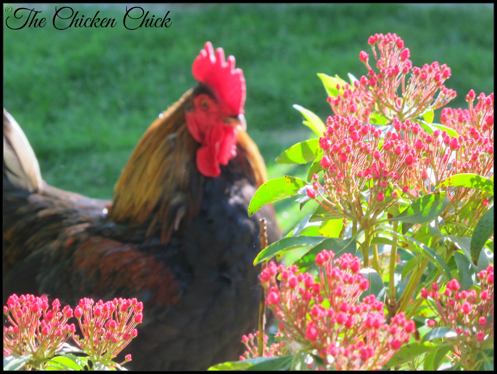 the chicken fighting to legalize backyard chickens