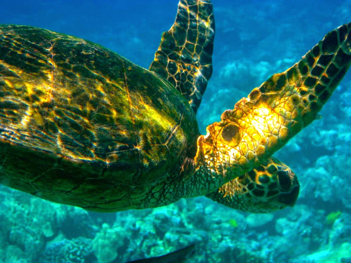 kissack adventures i see green green sea turtles