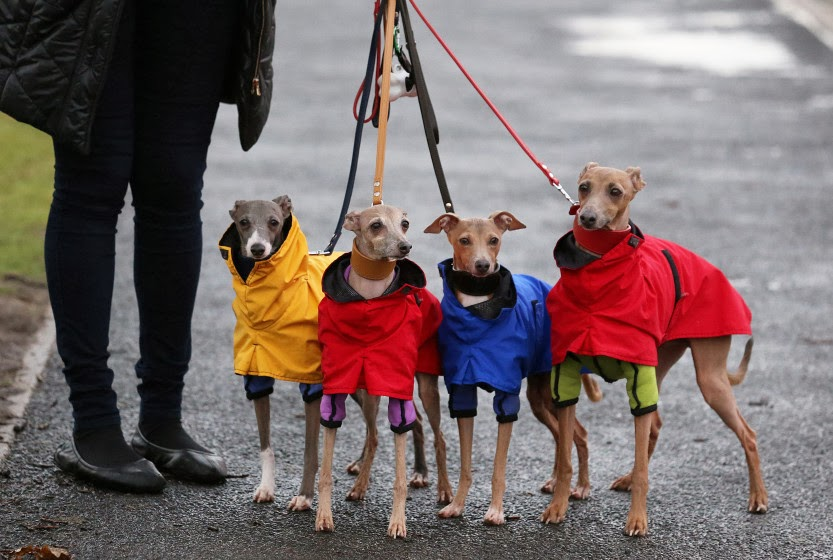 Fashion Statements...Dogs Battle London Weather Enroute to Dog Show