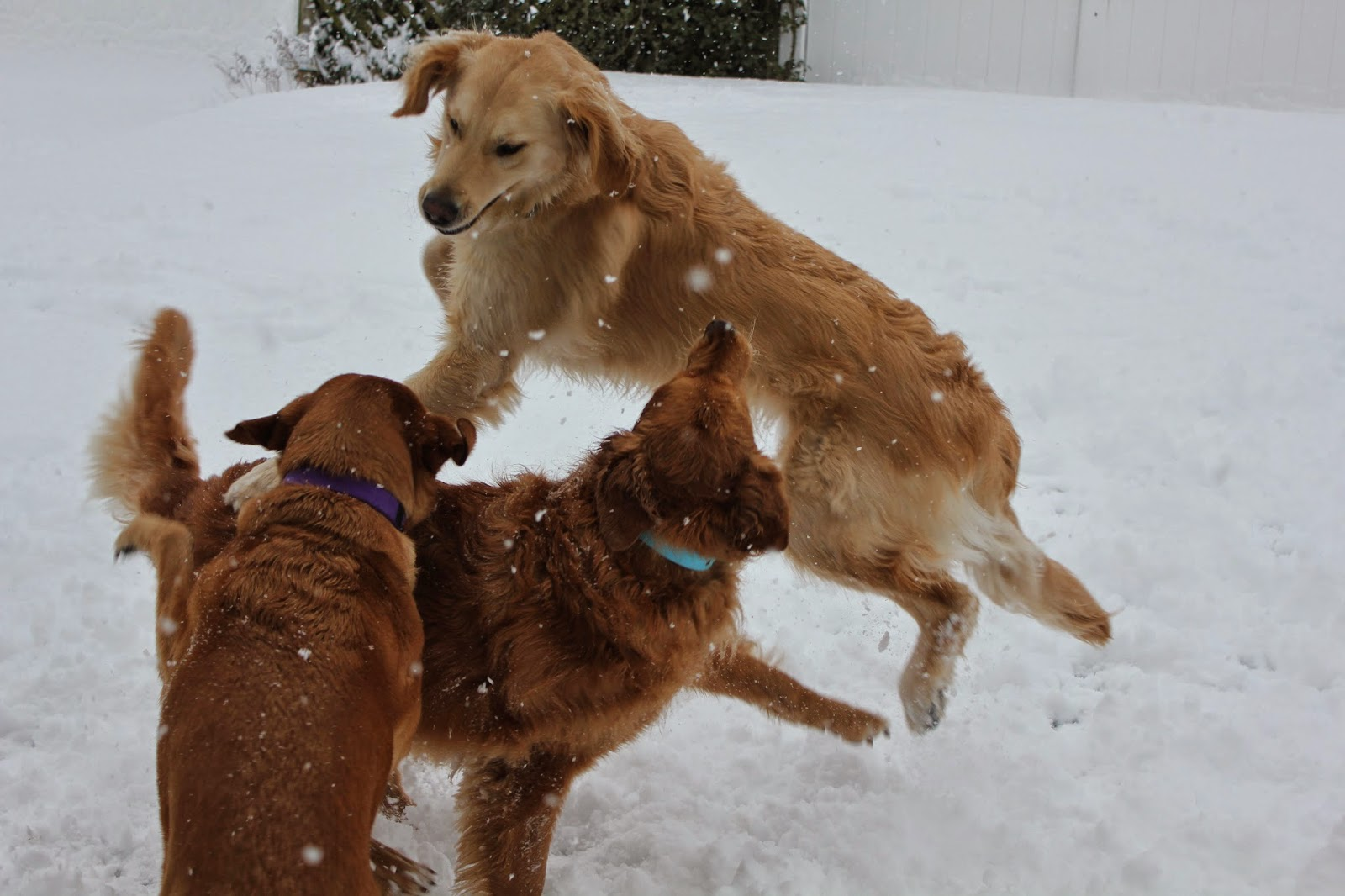 dogs horsing around in snow