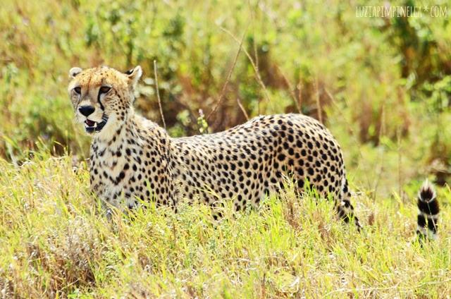 luzia pimpinella | travel tansania | safari in der serengeti - gepard